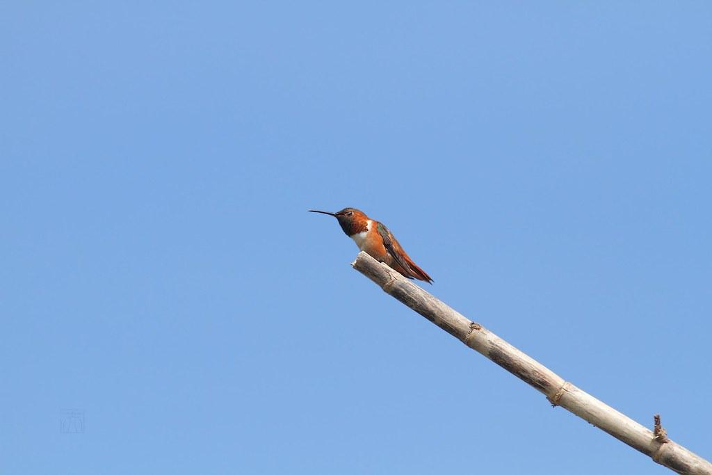 Allen's Hummingbird 050614