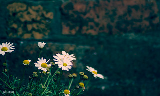 Long Distance Daisies!