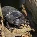 Beetle lesser Stag Siblands 25.6.2014 (1) by Margaret the Novice