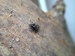 Jumping spider (Naphrys pulex); Mount Rainier, PGC, Maryland; June 13, 2014