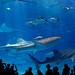 Okinawa Aquarium by illiumsung