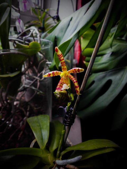 Phalaenopsis mannii x tetraspis 14513189977_97b76a2993_z