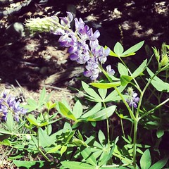Lupine #summer #flowers #tahoe #nature #woods #wild #sierra