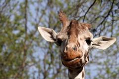 animal, giraffe, fauna, close-up, giraffidae, safari, wildlife,