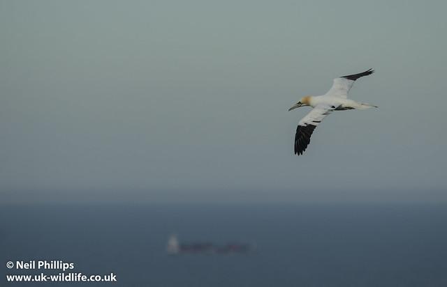 gannet flight-2