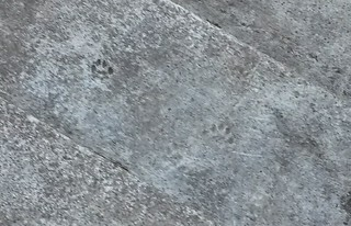 Kitty prints on our steps!