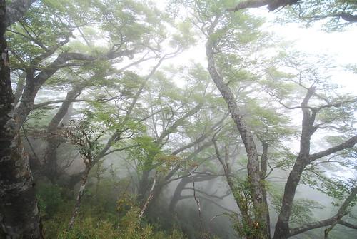 台灣山毛櫸生長於雲霧繚繞的宜蘭太平山區,呈現朦朧優靜。(圖片來源:林務局)