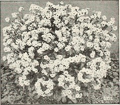"""Image from page 56 of """"Beckert's seeds"""" (1922)"""