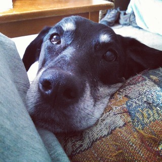 """Hey Mommy...whatcha doing?"" - Lola #dogstagram #instadog #dobermanmix #seniordog #love #mybaby"