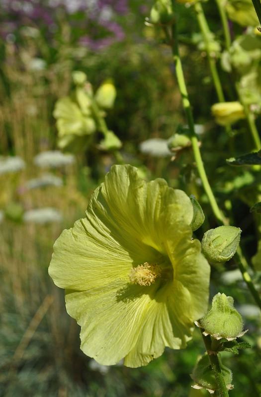 Alcea rosea (2)