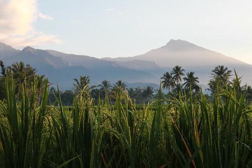 morning mountain tree field indonesia volcano rice terrace palm dew gunung lombok rinjani