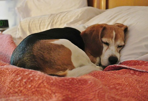 Let sleeping beagles lie