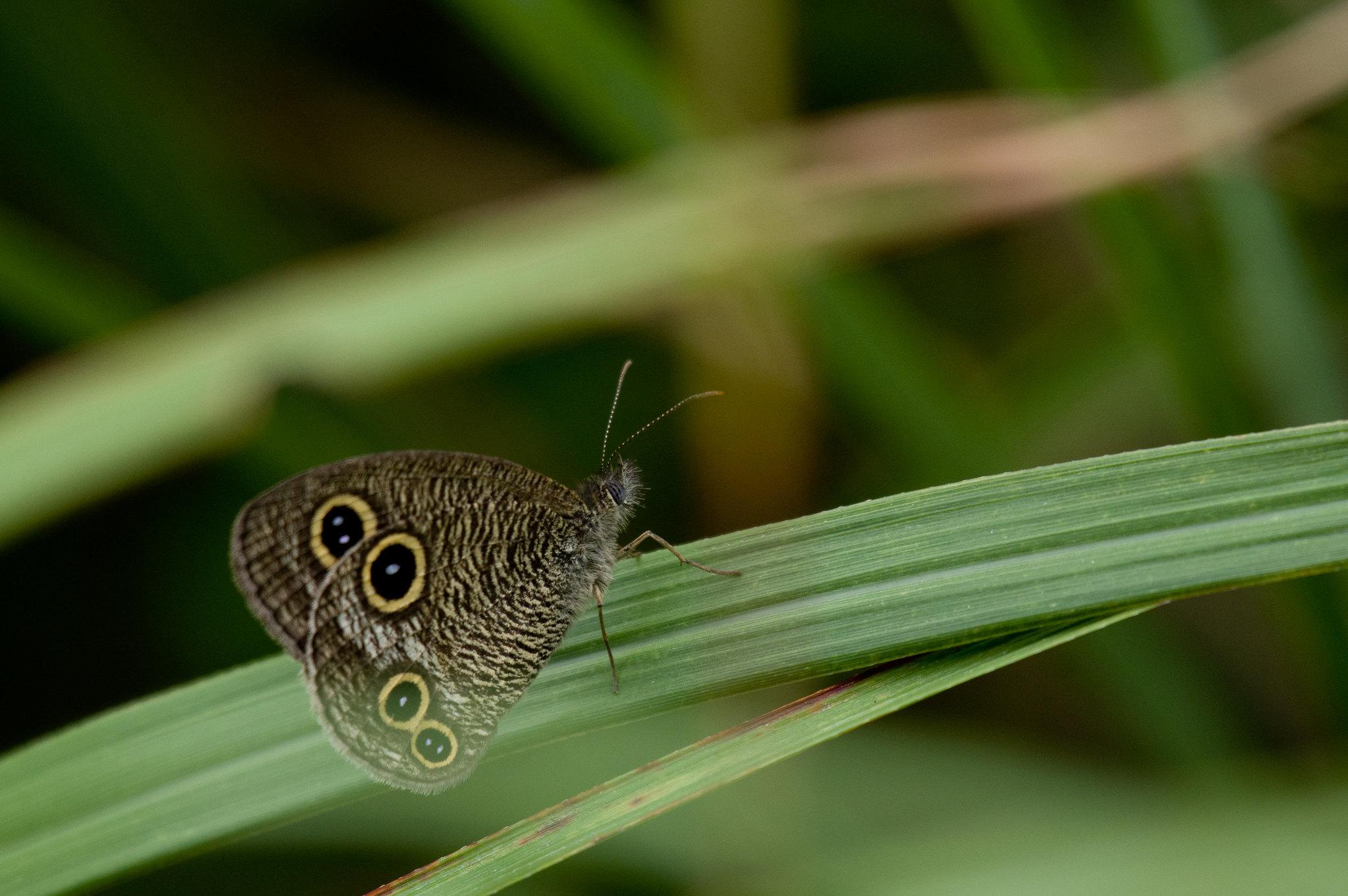 臺灣波紋蛇目蝶