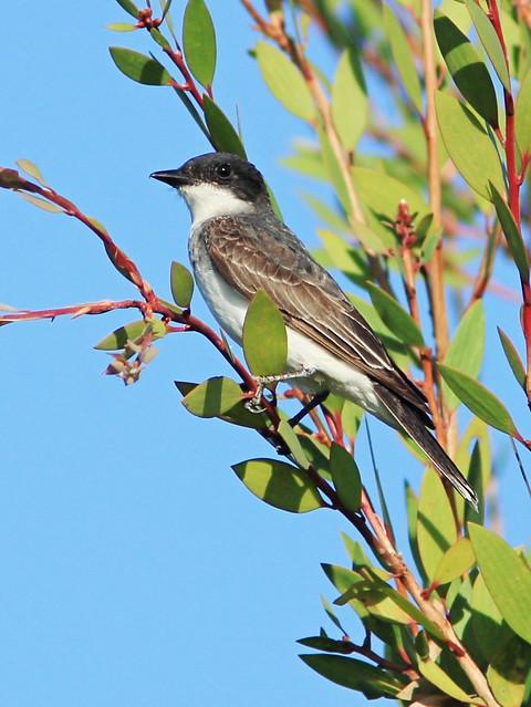 Eastern Kingbird - Tyrannus tyrannus 20140824