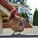Cooper Mountain Chicken