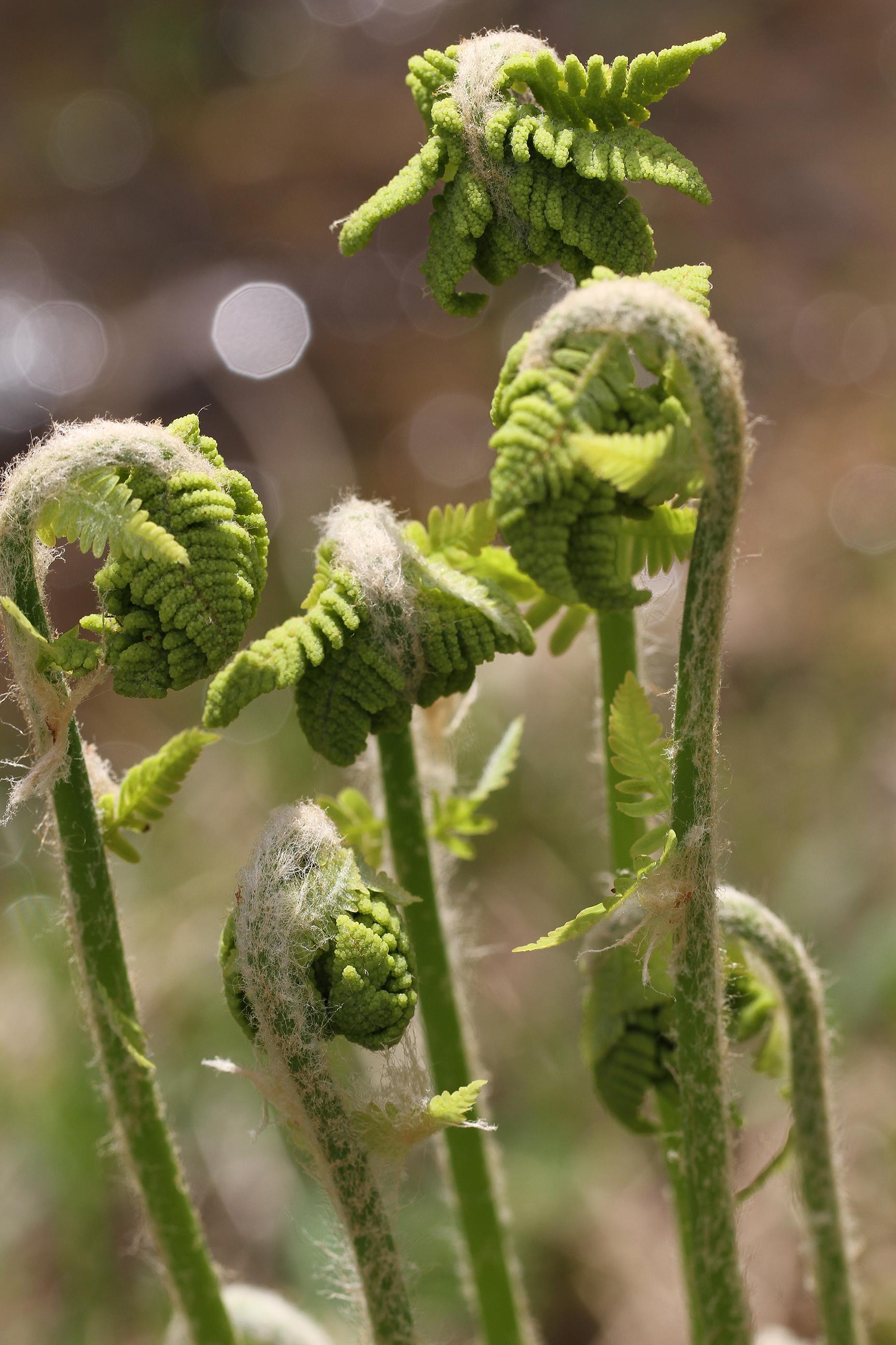 awakening ferns