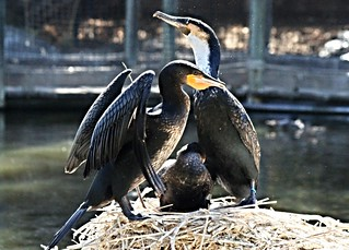 Bird - White-Breasted Cormorant - Family