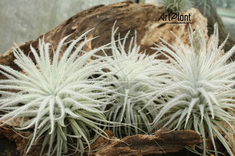 art plant | cay khong khi | tieu canh khong khi | terrarium | khong khi bong tuyet