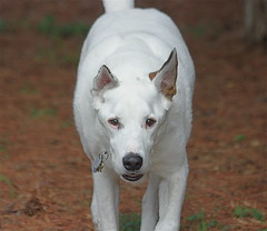 dog breed, animal, dog, canaan dog, pet, white shepherd, carnivoran,