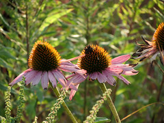 late summer coneflowers