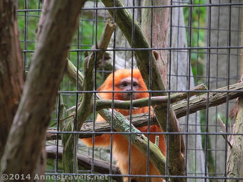 Gold Lion Tamarin, Cape May Zoo, New Jersey