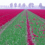 Holland_Bulb Fields