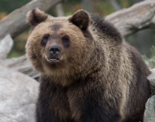 brown bear at Skansen3-3
