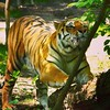 #tiger oh my! #zoo