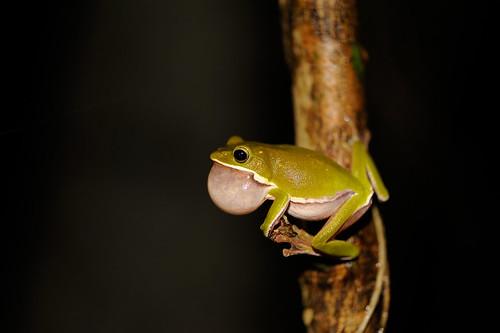 諸羅樹蛙,過去農村時代又稱為雨怪或青腰。(攝影:吳仁邦)