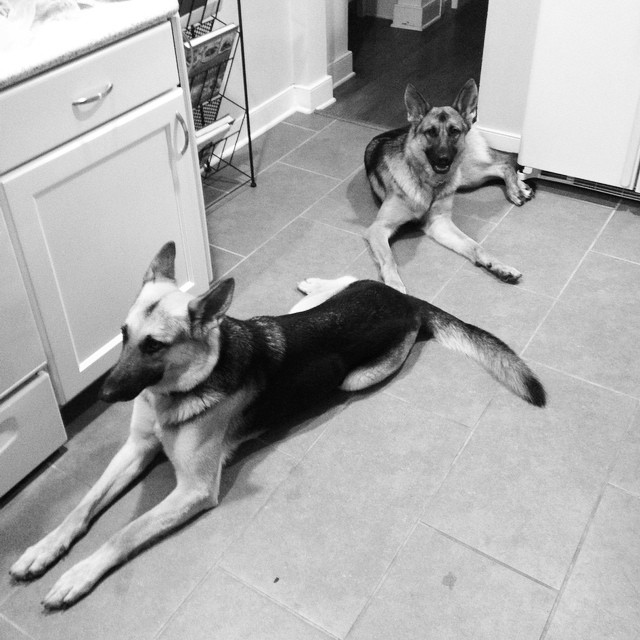 Sous chefs #gsdlife #germanshepherds