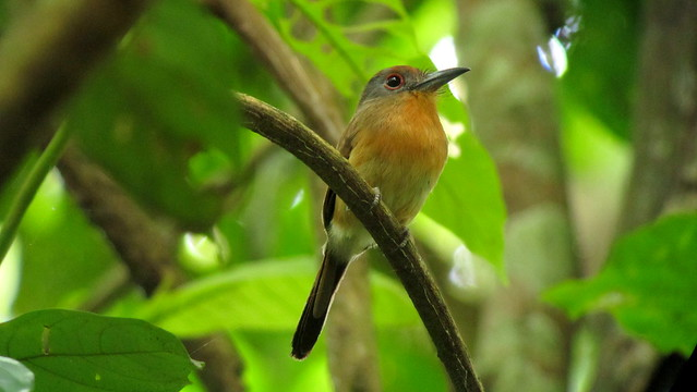 Grey-cheeked Nunlet - Nonnula frontalis - Darien, Panama