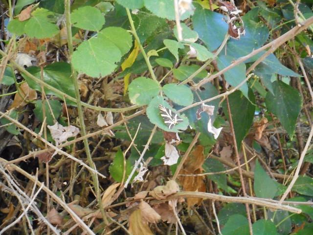 Πεταλούδες Panaxia quadripunctaria στην Κοιλάδα της Ψίνθου το 2015