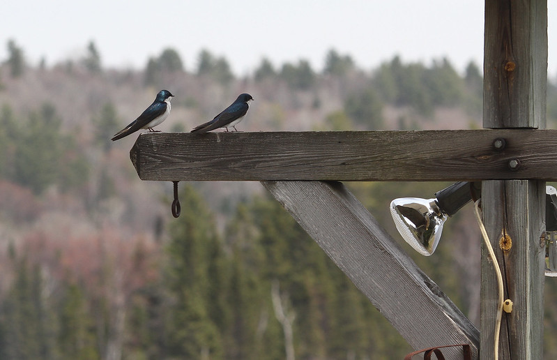 purple martin pair