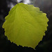 European aspen - Photo (c) Tero Laakso, some rights reserved (CC BY-SA)