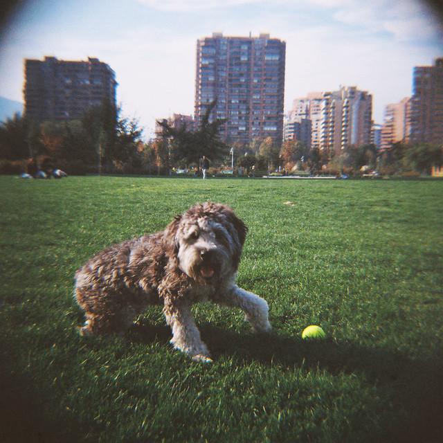 canes en el parque araucano