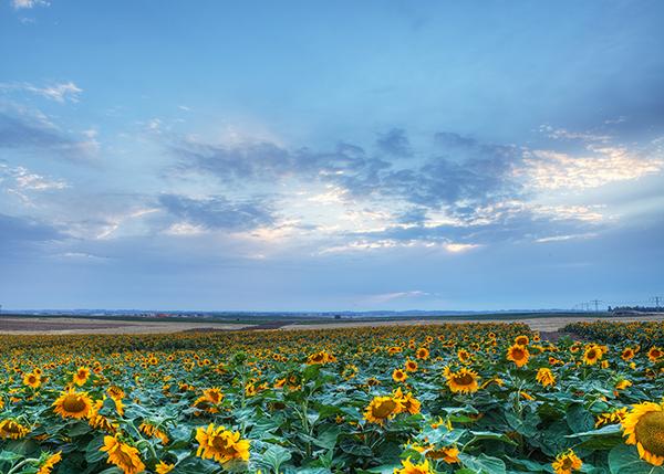 israel, sunflower field, sunset, cloudy, שדה בשקיעה ,רונן פריימן, שדה חמניות, פרחי חמניות, פרחים