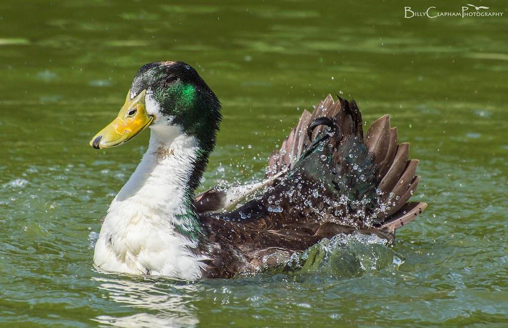 feral duck splash high speed photography bird billy clapham