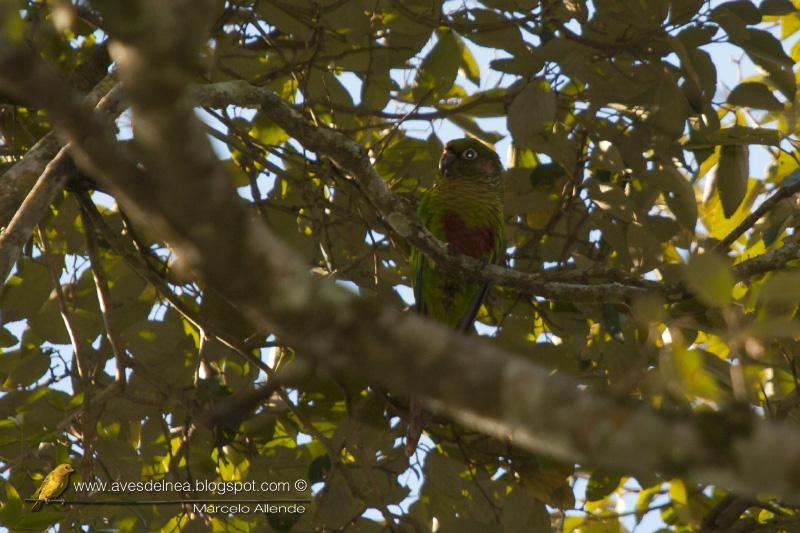 Chiripepé cabeza verde (Reddish-bellied Parakeet) Pyrrhura frontalis