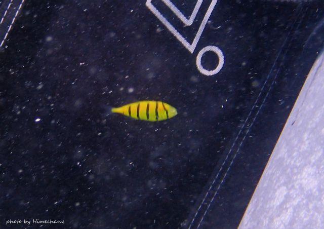 ずっと一緒に遊んでくれてたコガネシマアジ幼魚w