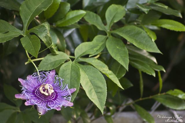 passifloraincense