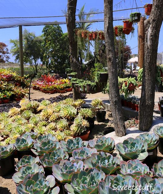 Succulent lovlies