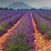 Lavendar Field by Coquelicot007