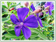 Tibouchina urvilleana (Princess Flower, Glory Bush) with vibrant purple flowers, July 8 2014