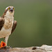 Osprey - Sing for your supper !