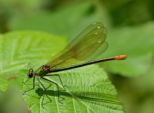 Libellule - Calpoptéryx