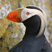 Big Dipper 2 has added a photo to the pool:Tufted Puffin