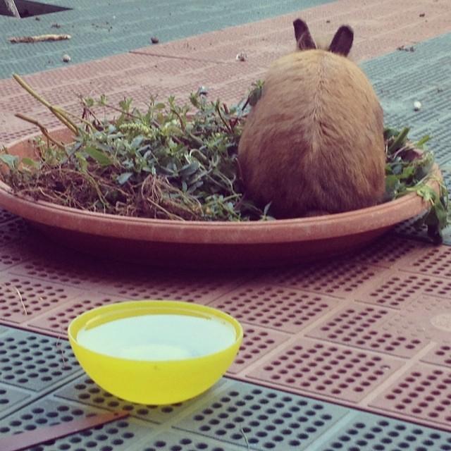 @riccipiccina che ne hai fatto delle erbacce del giardino? Le hai date al coniglio! Ciuffo ringrazia coniglio felice con erbe golose, quasi una ricetta  #rabbit #bunny #cheaphappiness