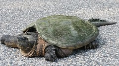 animal, turtle, box turtle, reptile, fauna, common snapping turtle, chelydridae, emydidae, tortoise,