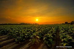 Sunset In a Tobacco Field