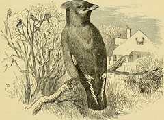 """Image from page 194 of """"Cassell's book of birds"""" (1875)"""